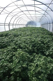 Insec-proof tunnel for sedd potatoes production